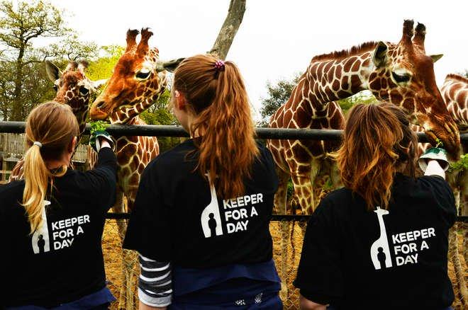 Giraffe feed
